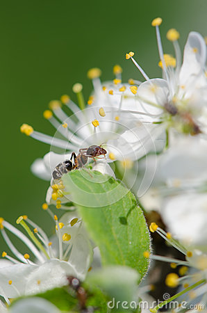Ant on a white flower