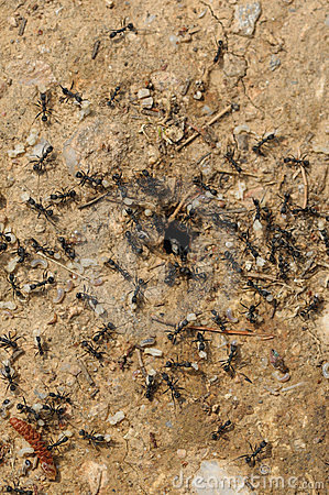 Ant workers carry larva out of the nest