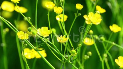 Ant on a Yellow Buttercup stock video footage