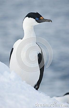 Antarctic blue-eyed shags.