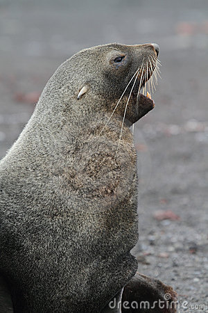 Antarctic fur seal barking, Antarctica