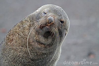 Antarctic fur seal with long whiskers, Antarctica