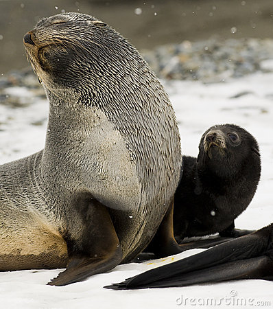 Antarctic Fur Seal and Pup