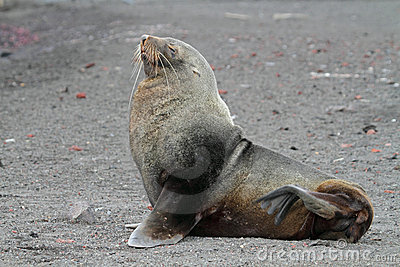 Antarctic fur seal on volcanic beach, Antarctica