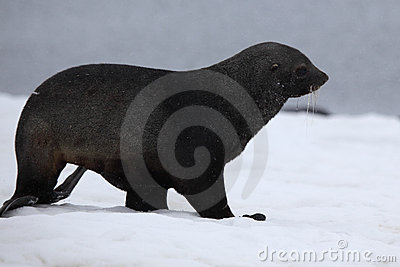 Antarctic fur seal walking on all four