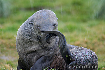 Antarctic fur seal wiping nose