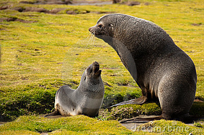 Antarctic Fur Seal with young Pup
