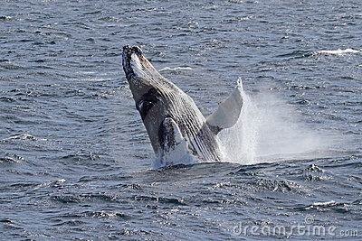 Antarctic humpback whale jumping