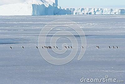 Antarctic ice and penguins Adeli