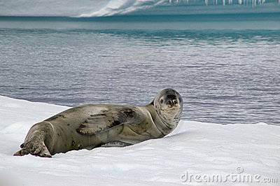 Antarctic leopard seal