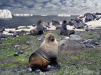 Antarctic macho