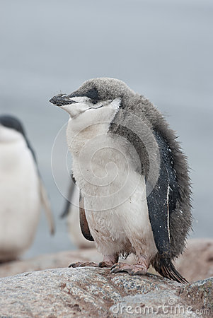 Antarctic penguin chick who almost molted.