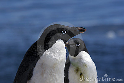 Antarctic Penguin(s)