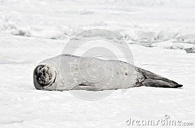 Antarctic Weddell Seal