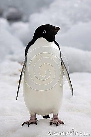 Antarctica - Adelie Penguin