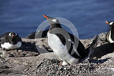 Antarctica - Gentoo Penguin