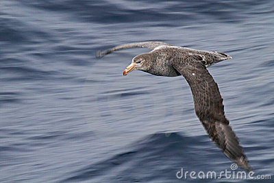 Antarctica giant petrel on the wing