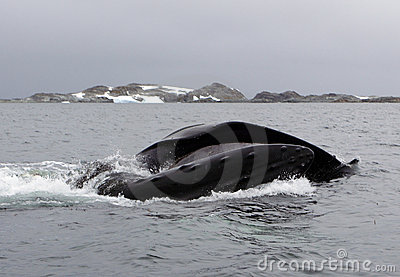 Antarctica humpback whale bubble-feeding on krill