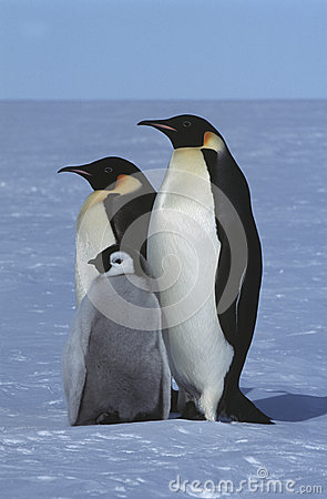 Free Antarctica Weddel Sea Atka Bay Emperor Penguin Family Stock Image - 30848551