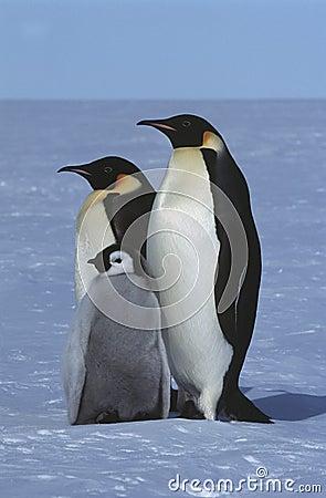 Antarctica Weddel Sea Atka Bay Emperor Penguin Family