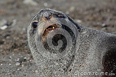 Antarctische bontverbinding die op strand, Antarctica rust