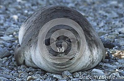 Antarktis södra Georgia Island Weddell Seal på det Pebble Beach slutet upp