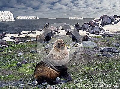 Antarktischer Macho