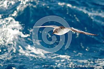 Antarktischer Sturmvogel