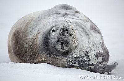 Antarktisskyddsremsaweddell