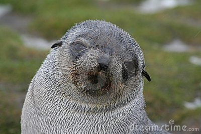 Antartic Fur Seal Pup in Antarctica