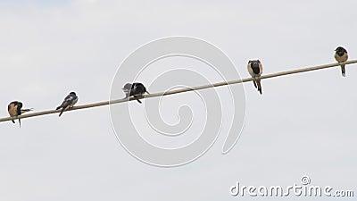 Antecedentes de nacimiento. Aves en la fila. Un pájaro de las plumas de lavado. Golpea en los cables. Tragar almacen de metraje de vídeo
