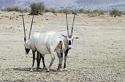Antelope Arabian Oryx