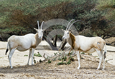 Antelope Arabian oryx in nature reserve, Israel