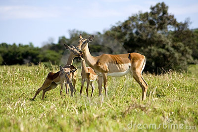 Antelope and baby