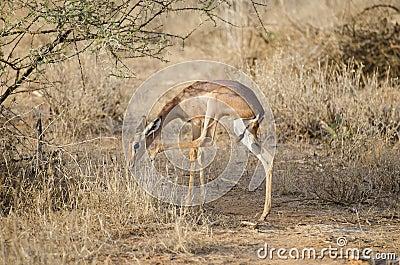 Antelope giraffe