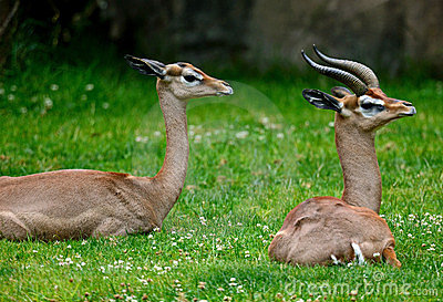 Antelope in Grass
