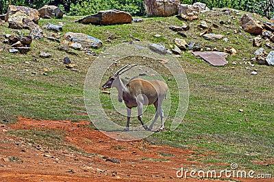 Antelope in Johannesburg zoo