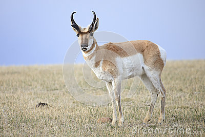 Antelope Lip Curl