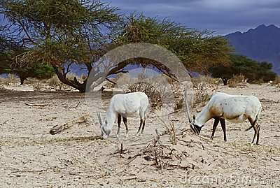 Antelope Oryx in Hai Bar, Israel