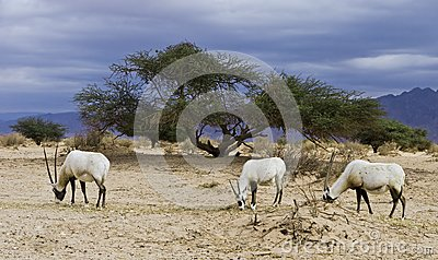 Antelope Oryx in Hai Bar, Israel