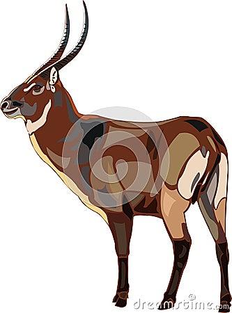 Antelope Series waterbuck.