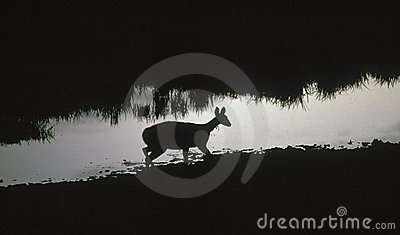 Antelope at a waterhole