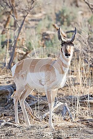 Antelope in the wild