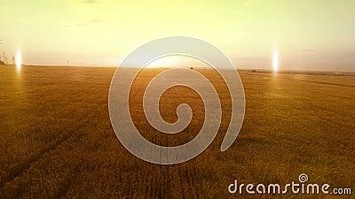ANTENA wieczór zmierzchu długa ciepła panorama nad pszenicznych żyto owsów rolnictwa żniwa jaglanym polem zdjęcie wideo