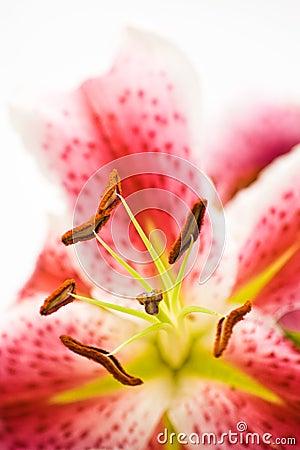 Anteras de la flor del lirio