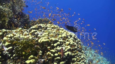 Anthias à un récif coralien en Mer Rouge clips vidéos