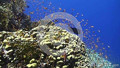 Anthias bij een koraalrif in het Rode Overzees stock video