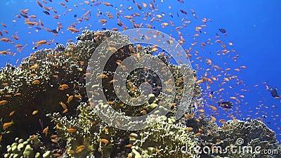 Anthias bij een koraalrif in het Rode Overzees stock videobeelden