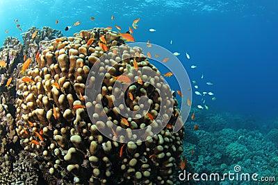 Anthias on tropical coral reef