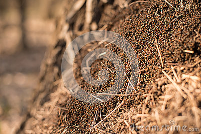 Anthill macro photo, big anthill close up